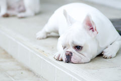 Sleepy French bulldog Stock Photography