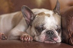Sleepy French Bulldog. A French bulldog getting ready to take a nap on a leather recliner Stock Image