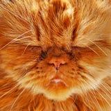 Sleepy funny cat royalty free stock photo