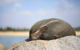 Sleepy Fur Seal Stock Image