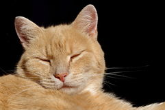 Sleepy ginger cat Royalty Free Stock Images