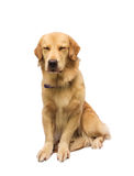 Sleepy Golden Retriever Royalty Free Stock Image