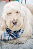 A sleepy Goldendoodle laying on the beach in Florida. Stock Photos