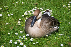Sleepy Goose Surrounded By Daisies Stock Photography