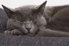 Sleepy gray cat Royalty Free Stock Images