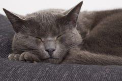 Sleepy gray cat Royalty Free Stock Images