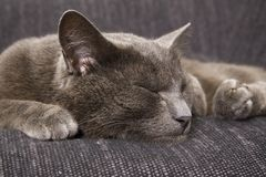 Sleepy gray cat Stock Image
