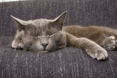 Sleepy gray cat Stock Photos