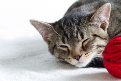 Sleepy gray cat and red ball of wool on white background Royalty Free Stock Photos