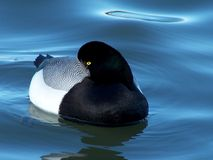 Sleepy Greater Scaup Duck Stock Photos