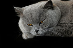 Sleepy grey british cat Stock Images