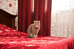 Sleepy grey cat in bedroom interior Royalty Free Stock Image