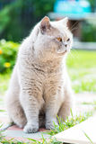 Sleepy Grey Cat Scottish Breed Royalty Free Stock Image