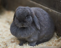 Sleepy Grey Dewlap Rabbit. An almost asleep dewlap rabbit Royalty Free Stock Image