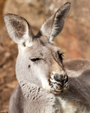 Sleepy Grey Female of the Red Kangaroo Species Stock Photography