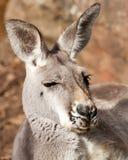Sleepy Grey Female of the Red Kangaroo Species Stock Photography