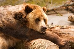 Sleepy Grizzly Royalty Free Stock Photo