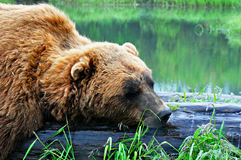 Sleepy Bear royalty free stock photos
