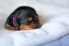 Sleepy head. Sleeping Yorkshire terrier puppy Stock Image