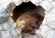 Sleepy Hollow. Brown bear sleeping in his cave Stock Images