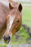 Sleepy horse portrait Stock Photos
