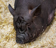 Sleepy huge wrinkly black pig Stock Photo