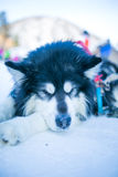 Sleepy Husky dog Stock Image