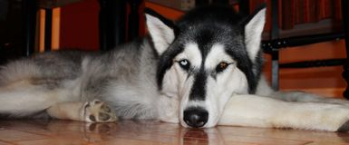 Beautiful Sleepy Husky dog laying on the floor Stock Images