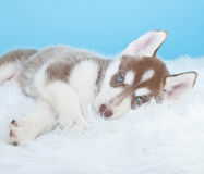Sleepy Husky Puppy Royalty Free Stock Image