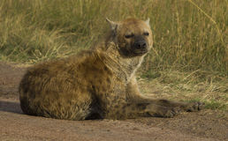 A sleepy hyena Stock Photography