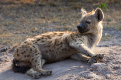 Sleepy hyena lay down on the ground rest in morning sun Royalty Free Stock Images