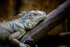 Sleepy iguana Stock Photos
