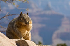 Sleepy or Itchy Squirrel. Squirrel scratching its nose on the edge of Grand Canyon, Arizona Stock Image