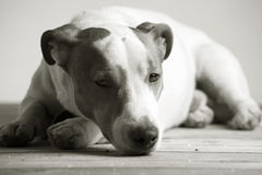 Sleepy jack russel terrier Royalty Free Stock Photography