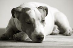 Sleepy jack russel terrier Royalty Free Stock Photography