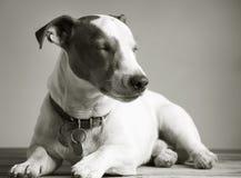Sleepy jack russel terrier Royalty Free Stock Photo