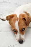 A sleepy Jack Russell puppy Royalty Free Stock Images
