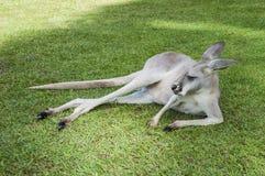 Sleepy kangaroo Stock Photo