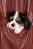 Sleepy king charles puppy Royalty Free Stock Photography
