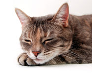 Sleepy Kitten. Small kitten sleeping with chin on paw on a white background Royalty Free Stock Images