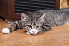 Sleepy kitten Royalty Free Stock Photography