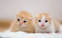 Sleepy kitten. Two young kittens. The shallow depth of field Royalty Free Stock Photos