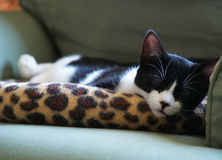 Sleepy Kitten. A black and white kitten gets some snooze time on a spotted cat bed stock photo