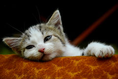 Sleepy kitten. Sleepy, lazy kitten laying in his bed royalty free stock image
