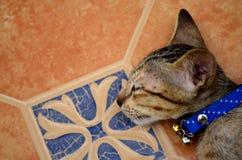Sleepy kitten Royalty Free Stock Image