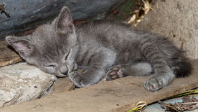 Sleepy Kitten. This small little fellow finally fall asleep. When he is awake it is impossible to catch him or take still image of him - constantly moving and royalty free stock photos