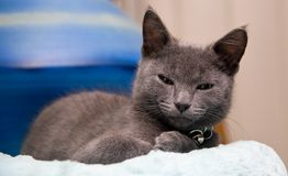 Sleepy kitten waking from a nap. A sleepy grey kitten looking grumpy as he wakes from his nap Stock Images