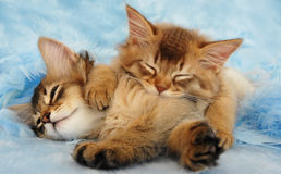 Sleepy kittens. A Chocolate and Usual somali kitten cuddling up asleep Stock Photo