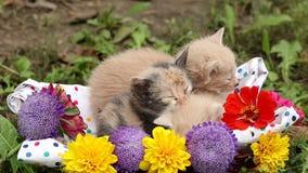 Sleepy kittens in basket stock video footage