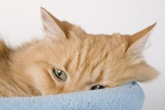 Sleepy Kitty Cat Three. Sleepy Kitty in Bed Royalty Free Stock Photo